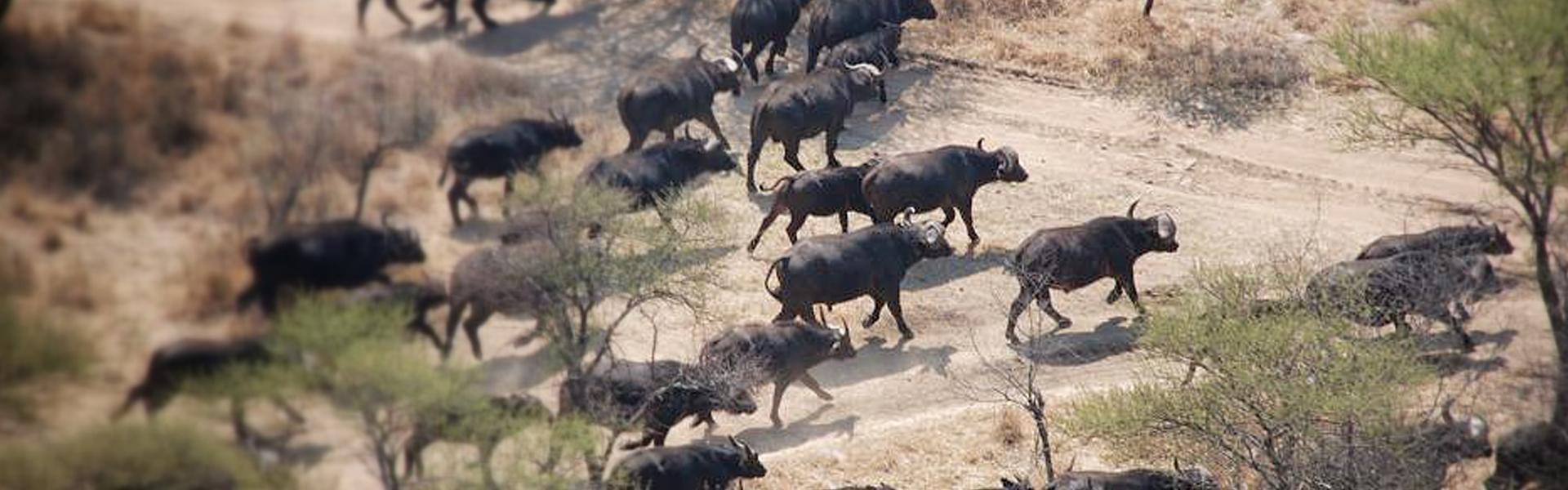 BuffaloStampede