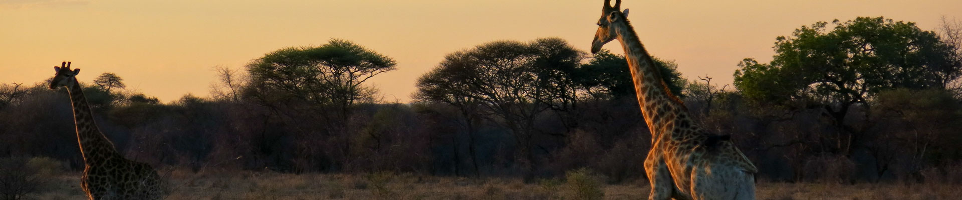 giraffe strolling at sunset at Melorani Safaris