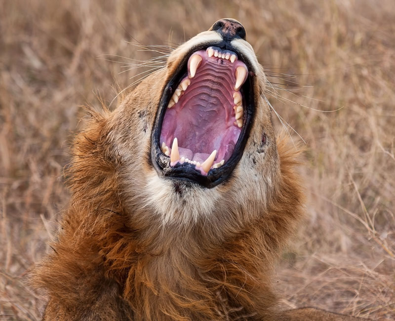 Lion Hunting Controversy - a young lion yawns