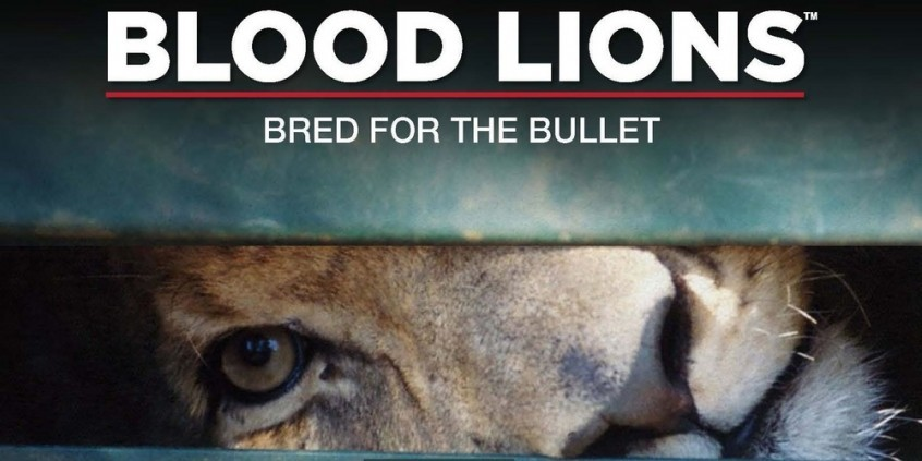 Blood Lions documentary - an expose of canned lion hunting